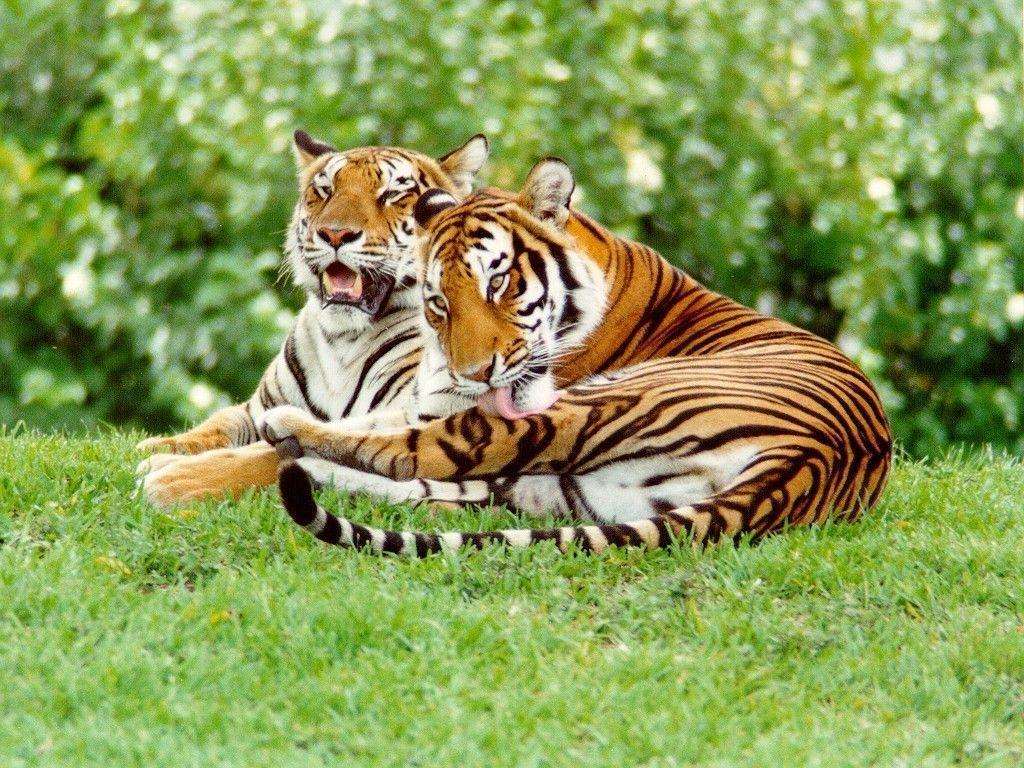 Tiger Wallpaper - Tigers Wallpaper (9981517) - Fanpop