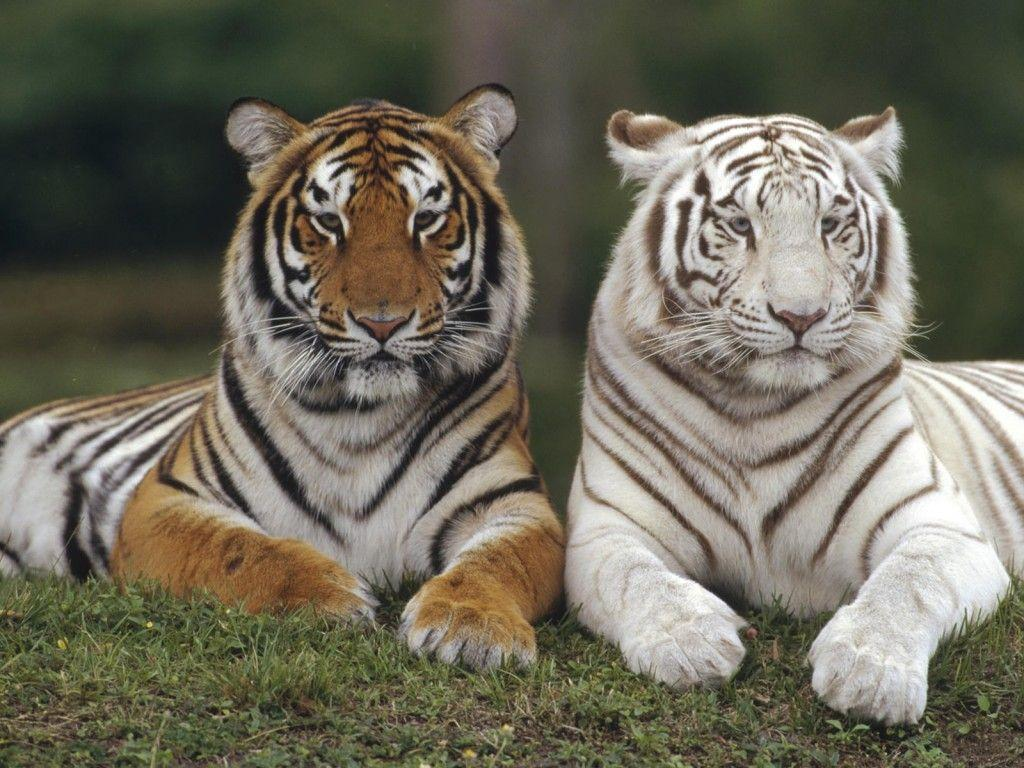White bengal tiger wallpapers - photo#13
