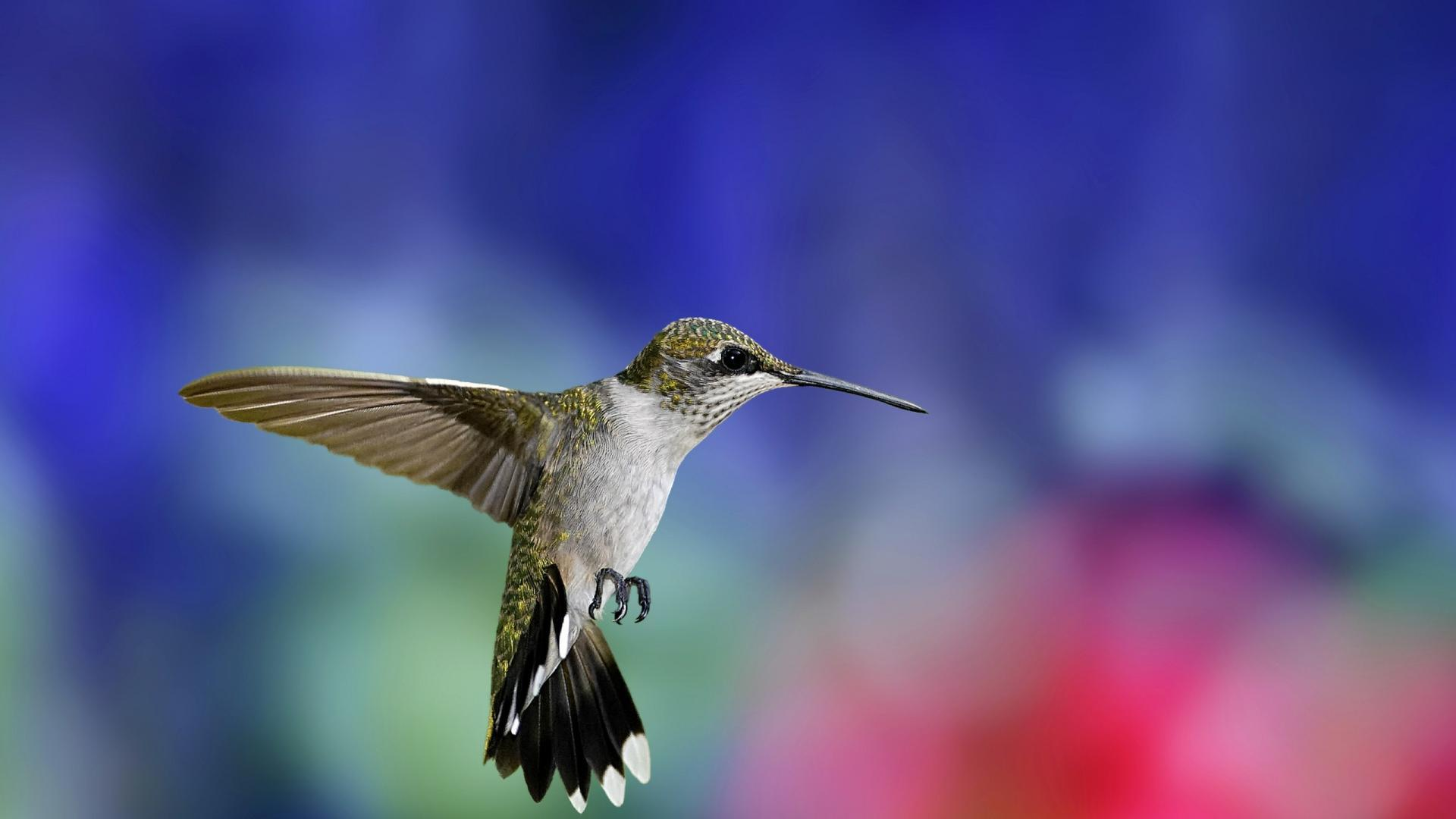 "Colibri nécrophile on twitter: ""the necrophile hummingbird."