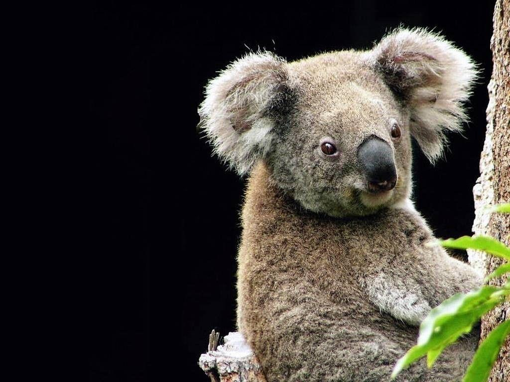 My Free Wallpapers - Nature Wallpaper : Koala