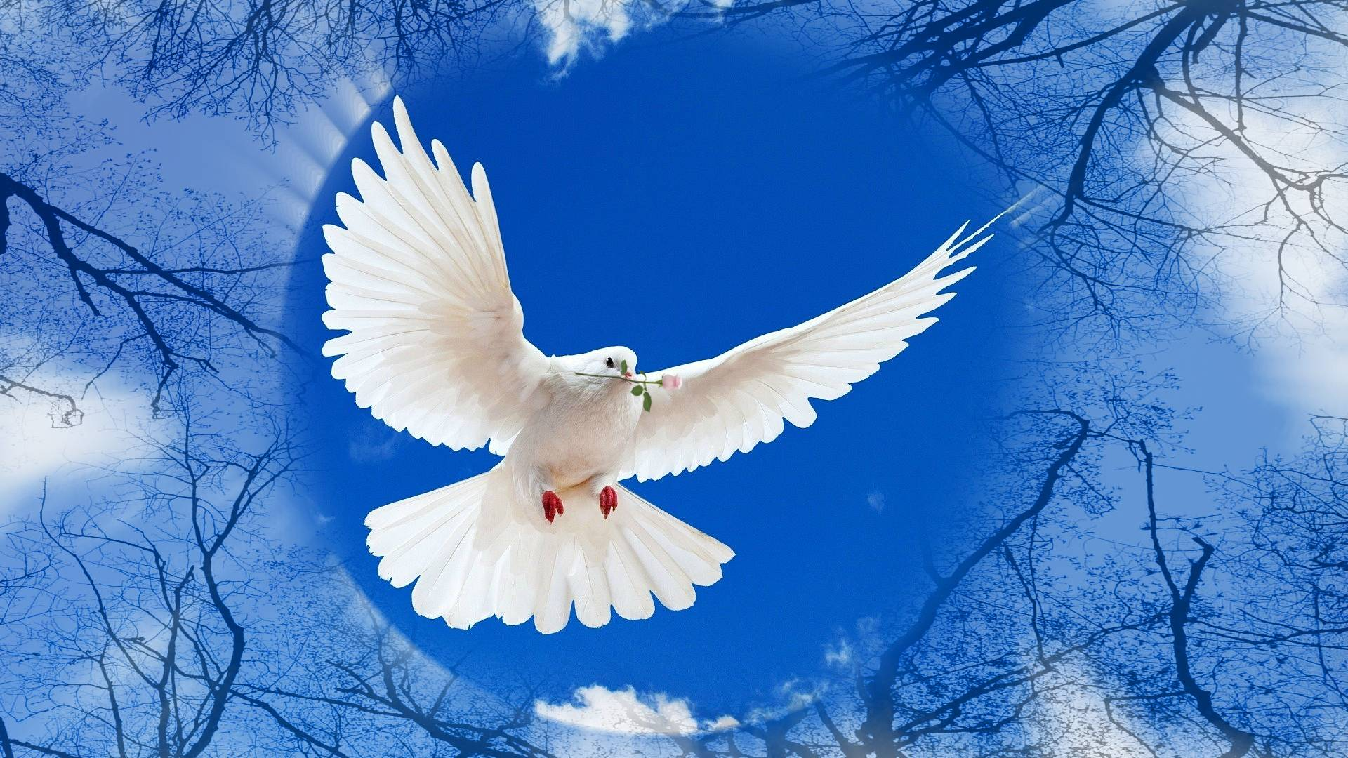 White Dove Wallpapers Wallpaper Cave