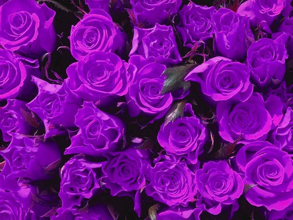 Hd wallpaper rose - Purple Rose Wallpapers Hd Wallpapers Zon