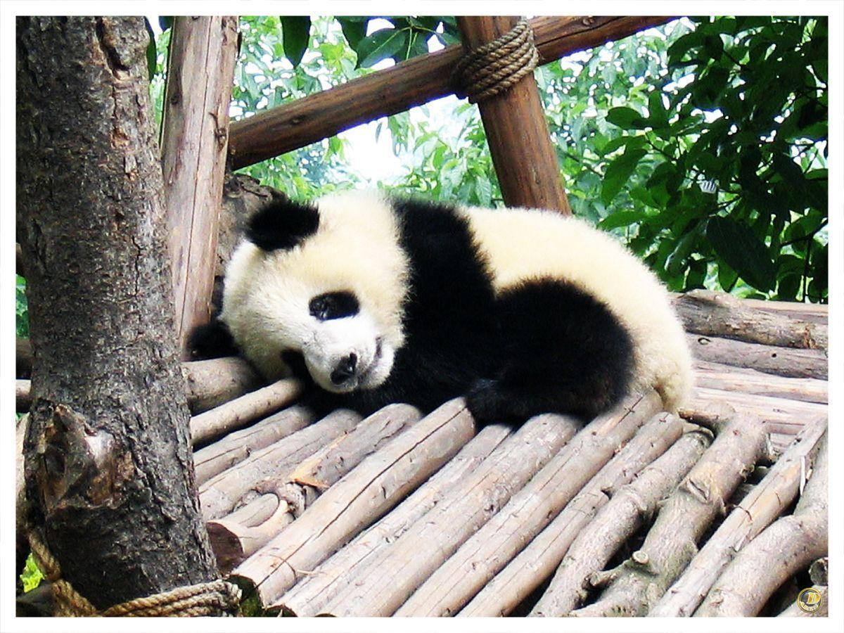 Cute Baby Panda Pics: Baby Panda Wallpapers
