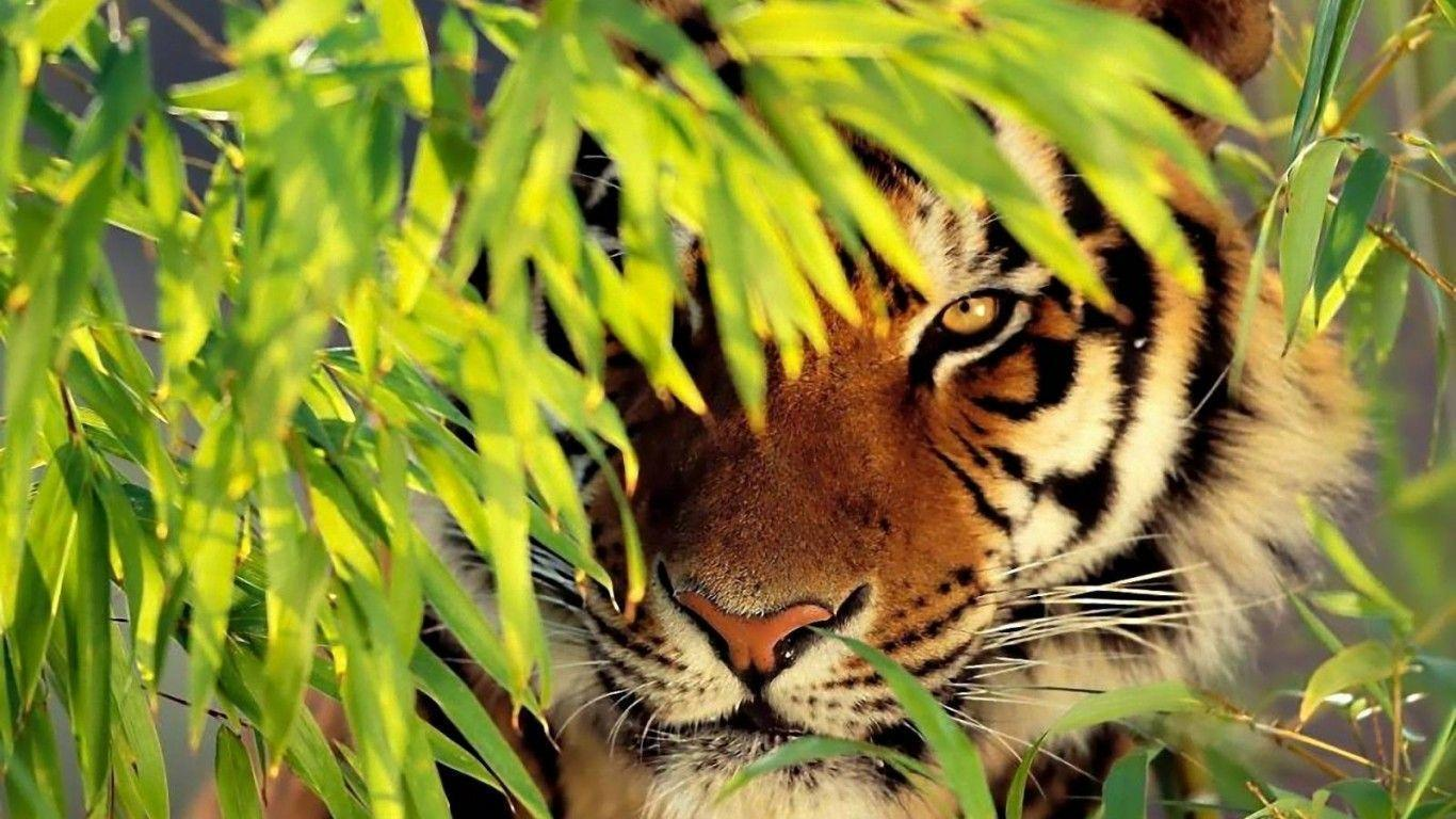 wallpapers tiger - wallpaper cave