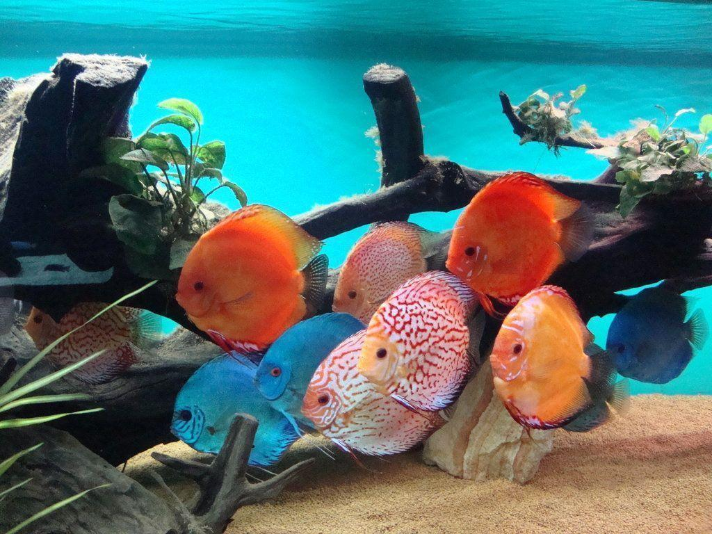 Discus Fish Wallpapers - Wallpaper Cave