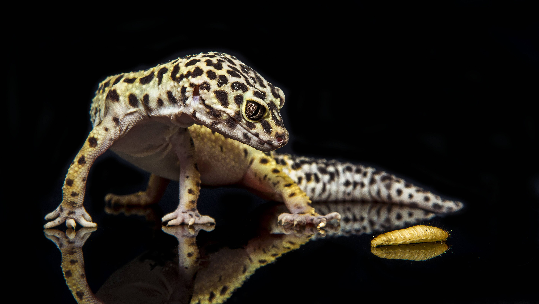 3840x2160 wallpaper lizard gecko - photo #30