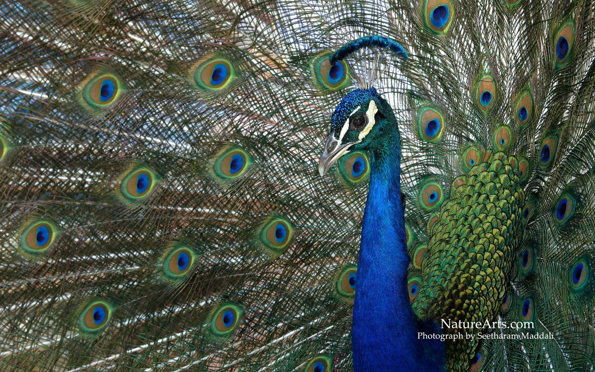 Peacock wallpapers desktop wallpaper cave - Nature background pictures for computer ...