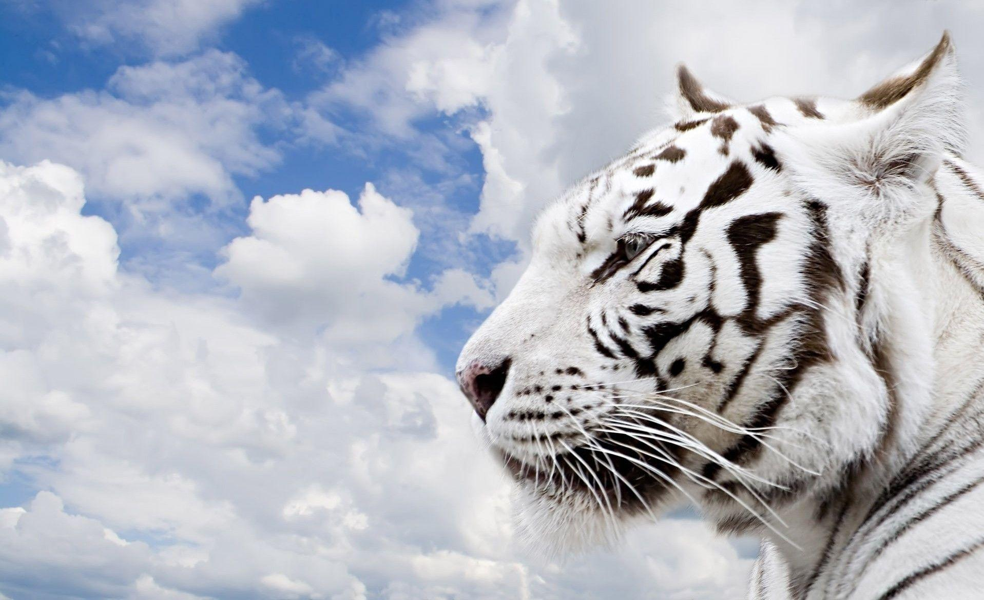 wallpaper hd white tiger -#main