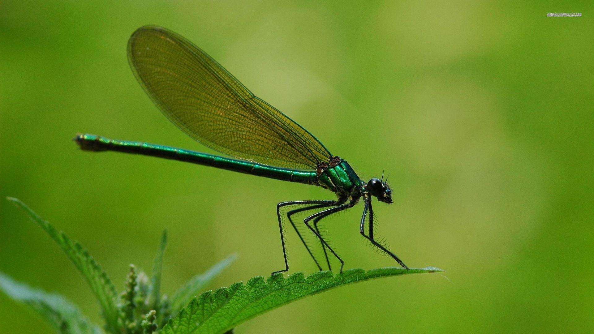 Free Dragonfly Wallpapers - Wallpaper Cave