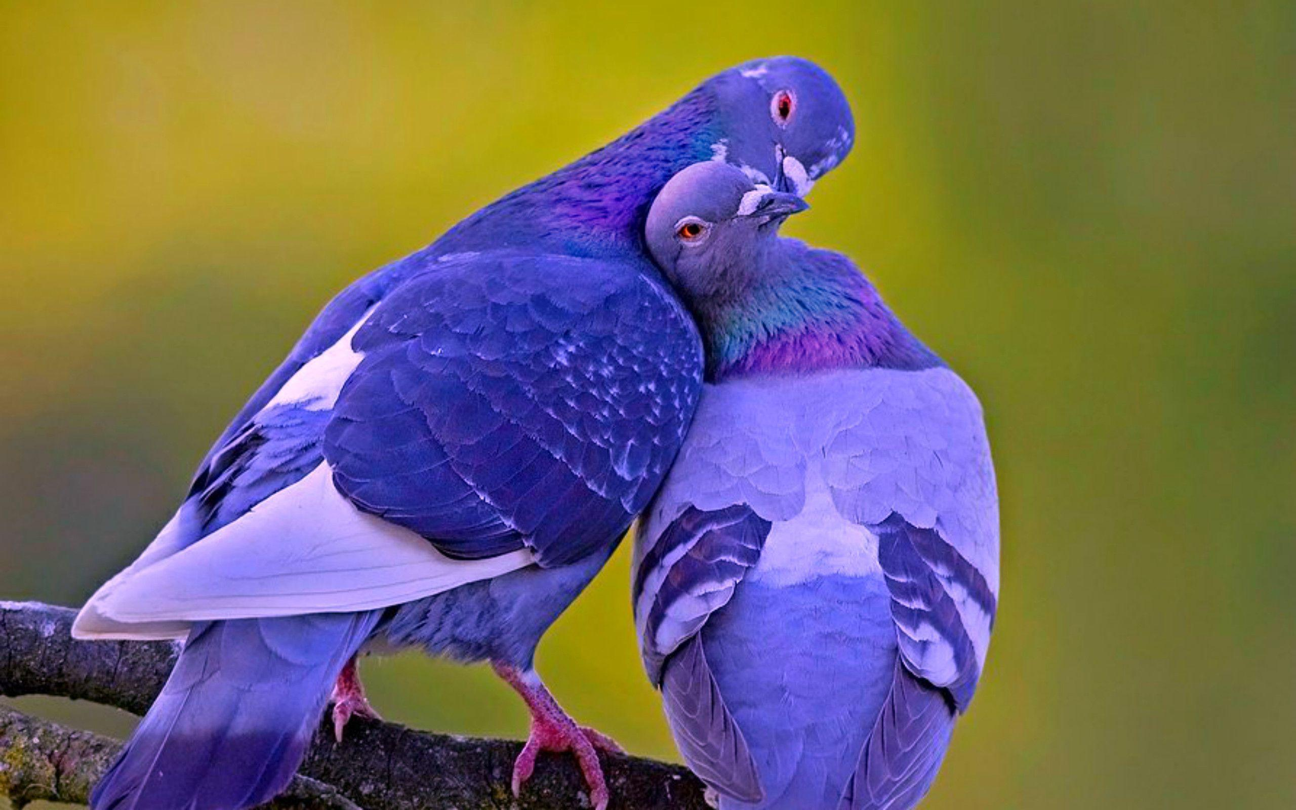 Love Birds Hd Wallpapers And Images Free Download: Lovely Birds Wallpapers