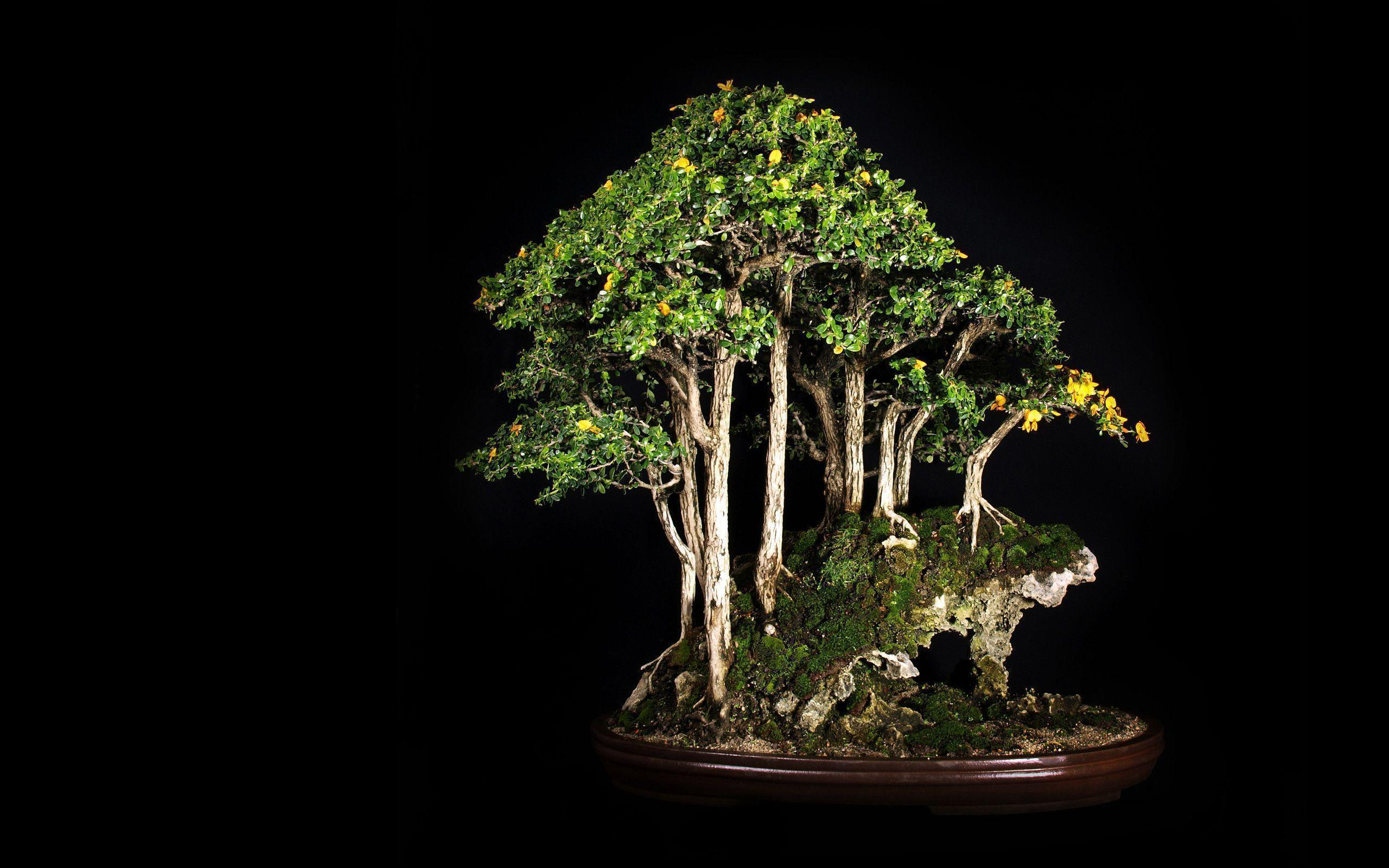 Tree Bonsai Tree Black leaves d wallpaper | 2560x1600 | 67867 ...
