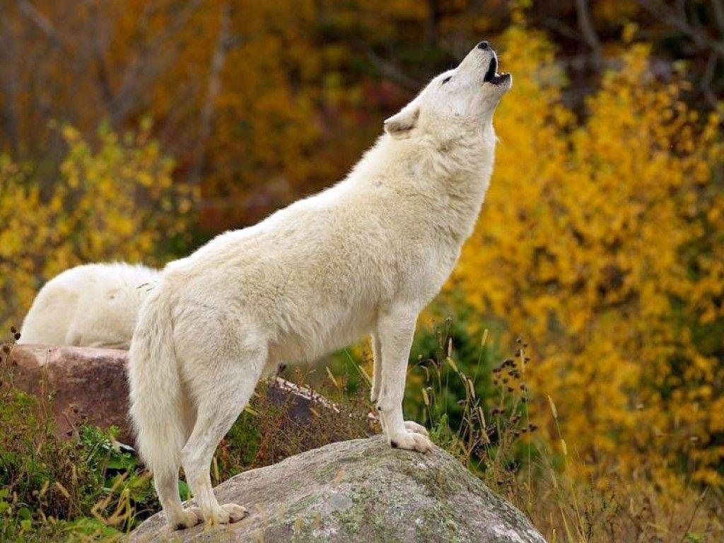 White Wolf : Desktop and mobile wallpapers : Wallippo