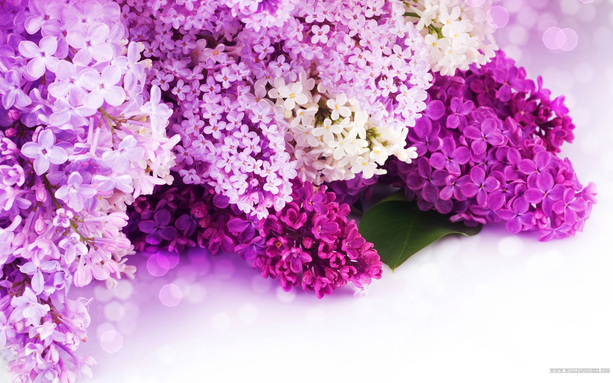 Purple Lilac Wallpaper : Desktop and mobile wallpaper : Wallippo