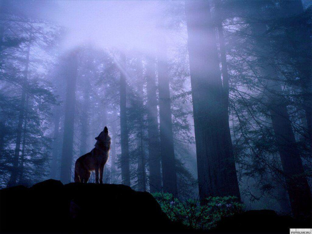 Wallpapers For > Wolf Howling At The Moon Wallpapers
