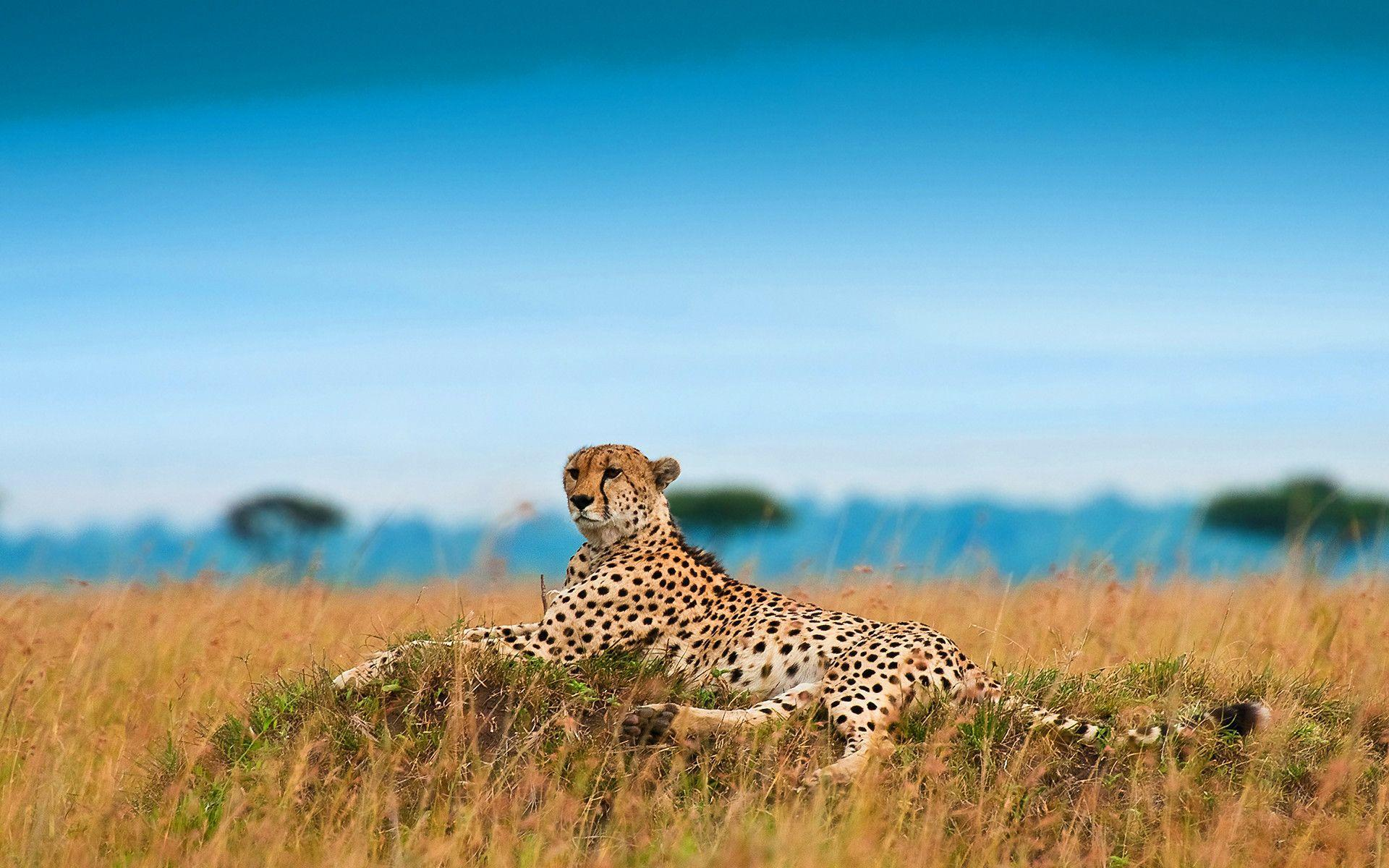 Cheetah Wallpaper 20914 #8803001