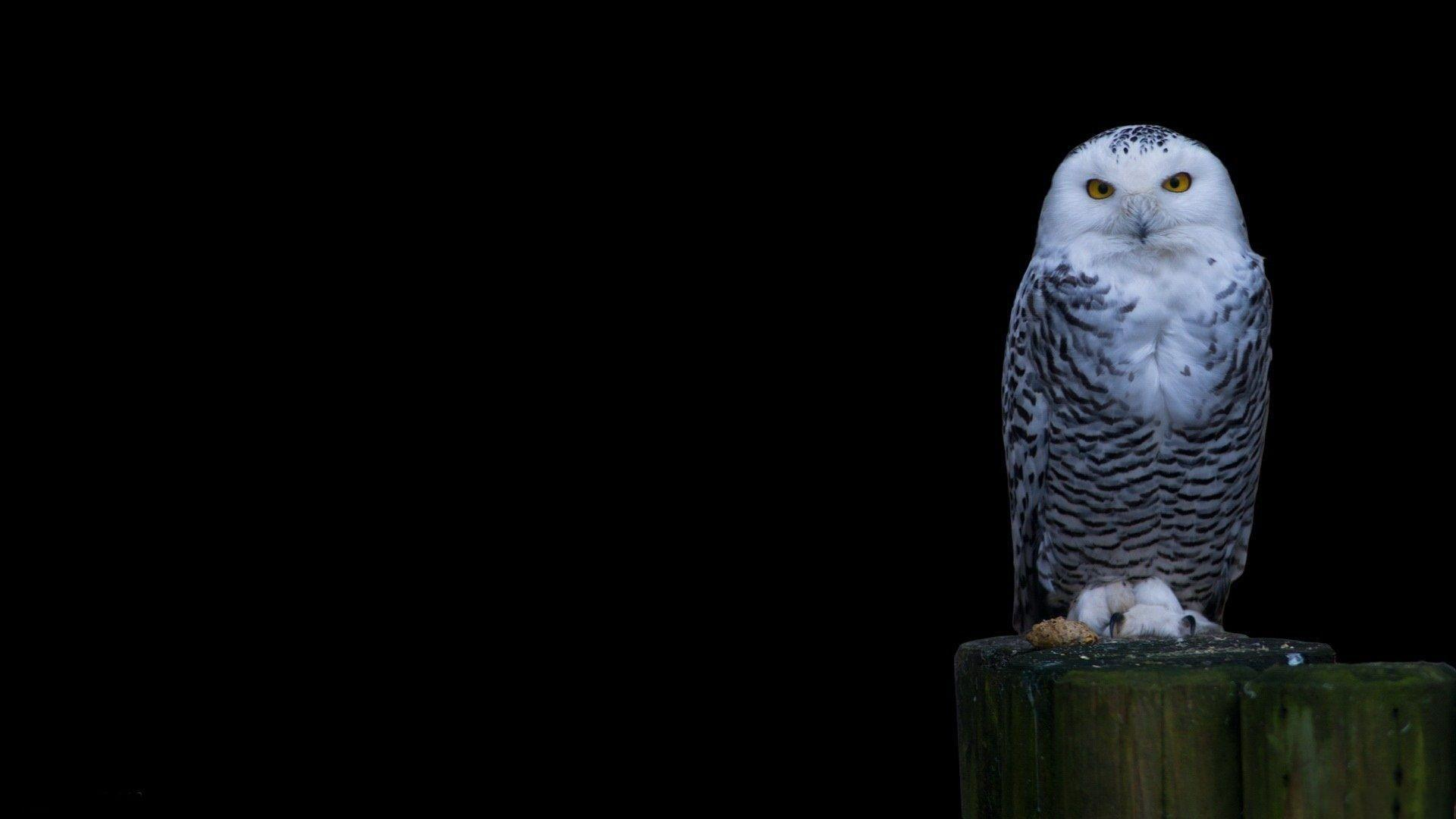 Snowy Owl Wallp... Owl Desktop Wallpaper Hd