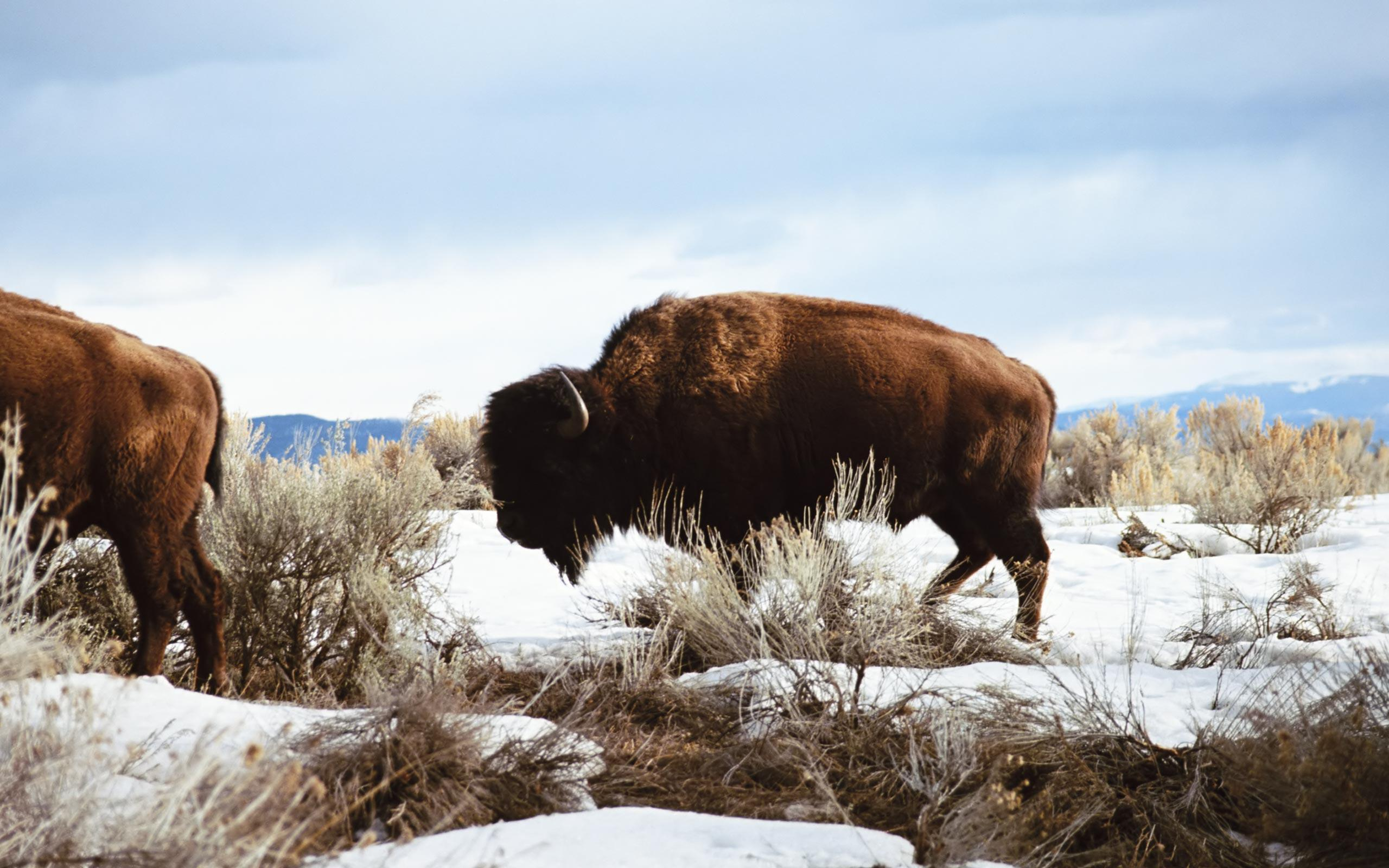 Bison Wallpapers - Wallpaper Cave