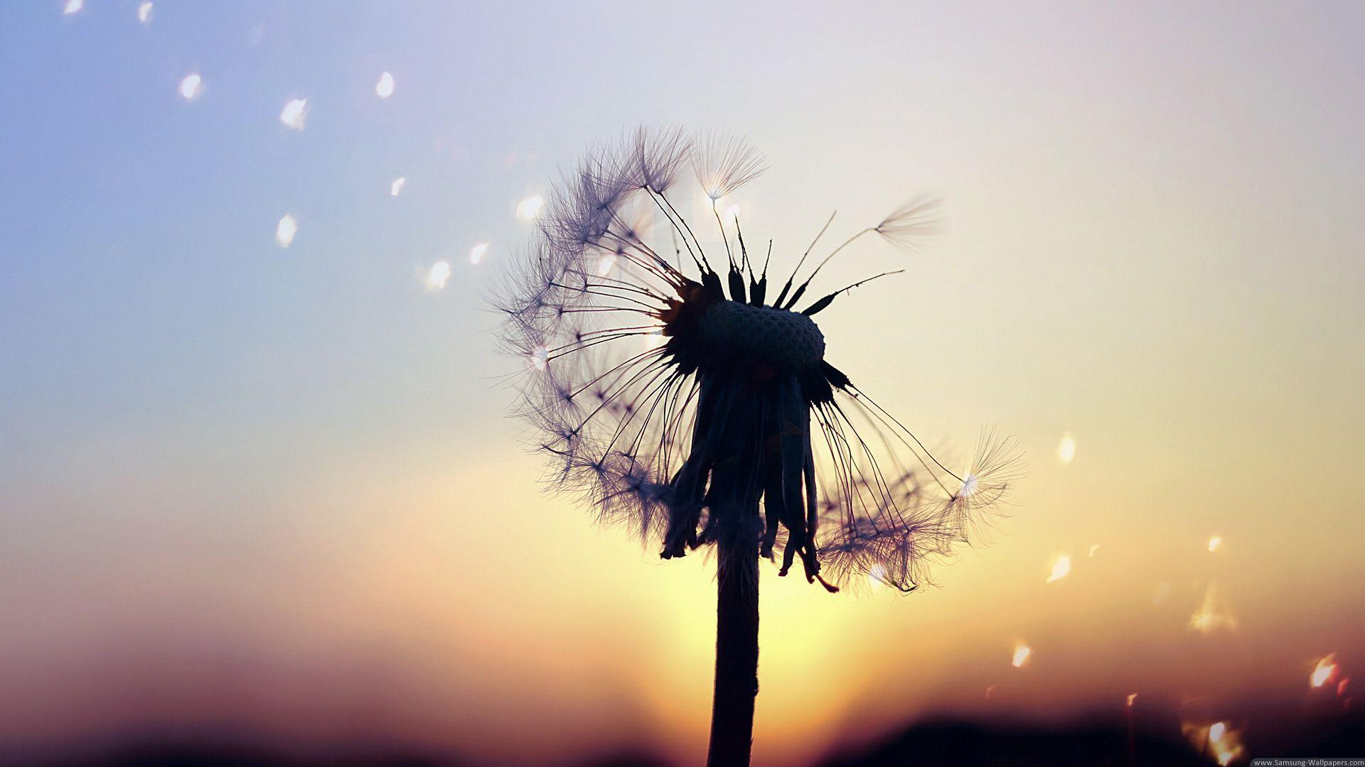 Wallpapers For > Samsung Galaxy Dandelion Wallpapers