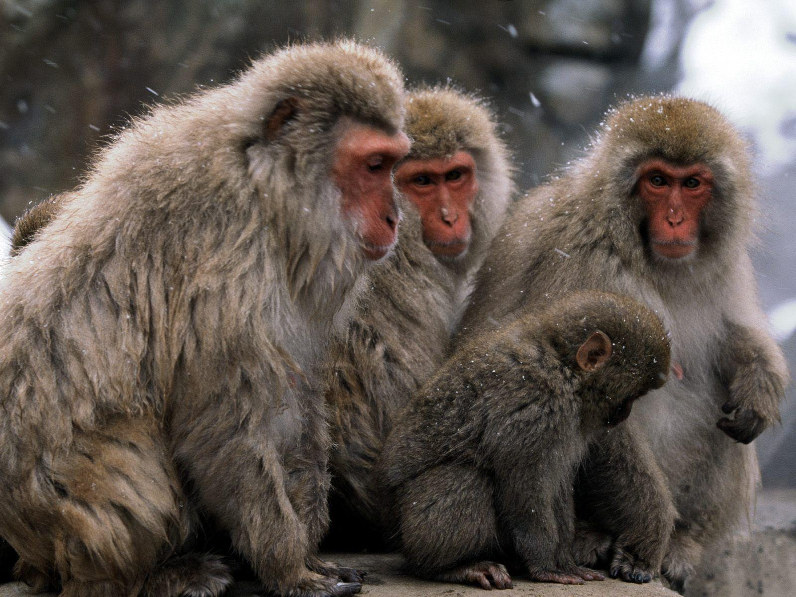Monkey Wallpaper | coolstyle wallpapers.