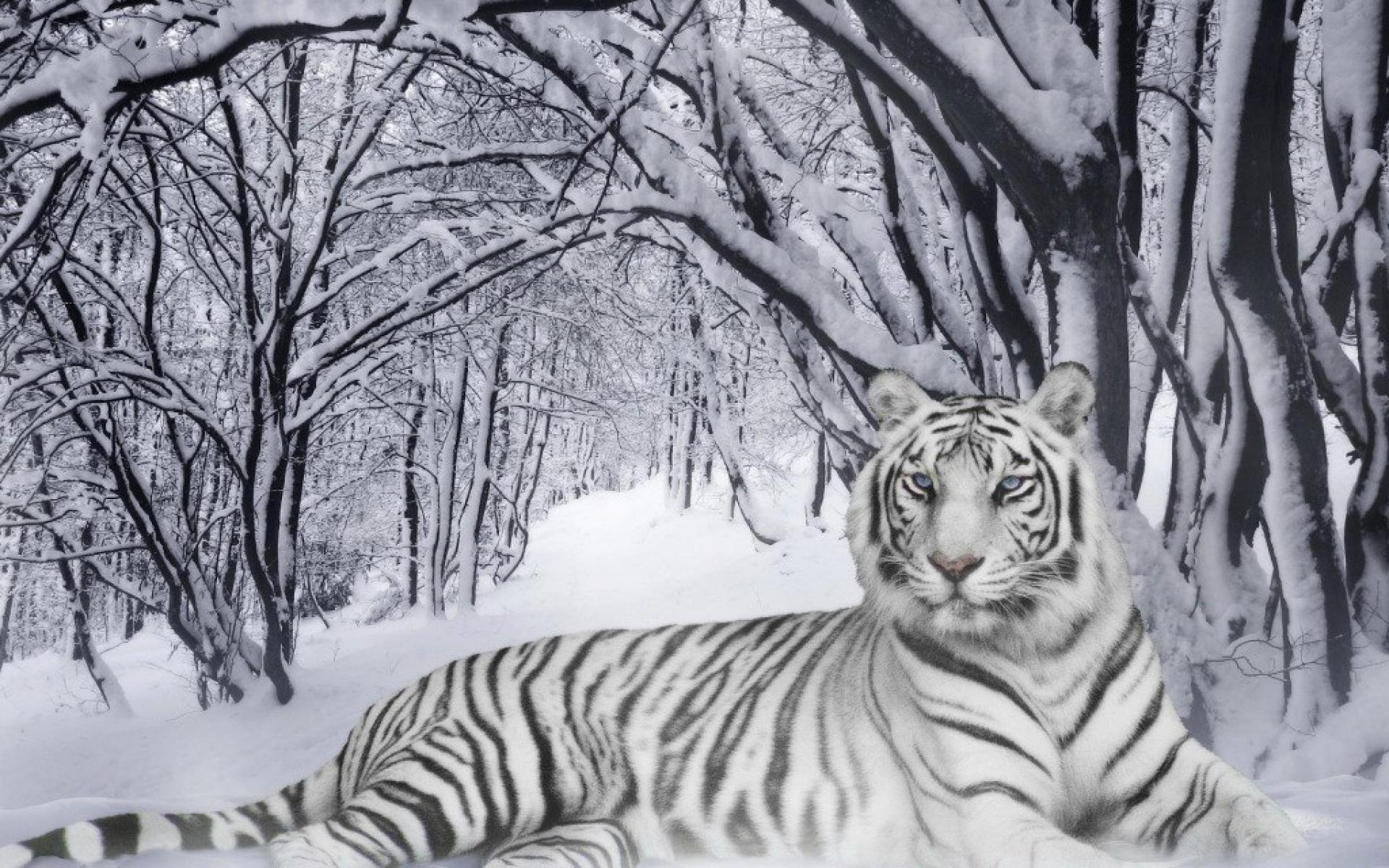 White Tiger Wallpapers Hd Free