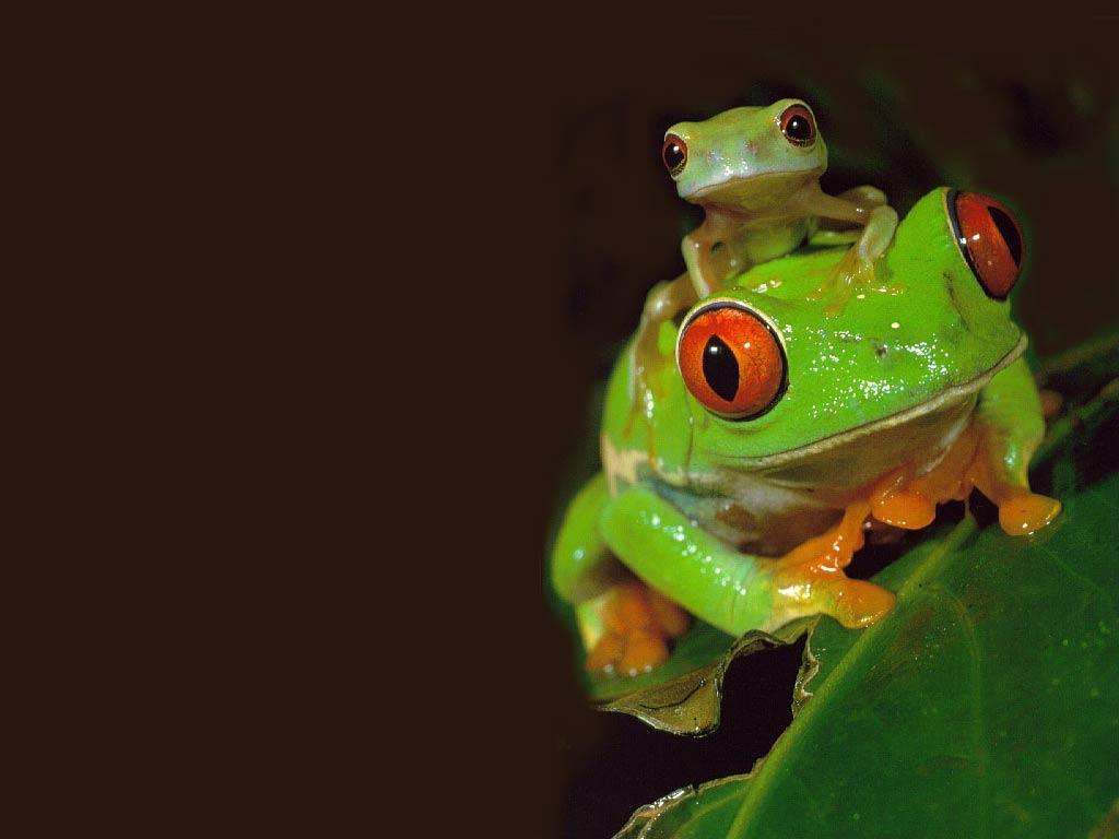 Free Frog Wallpapers