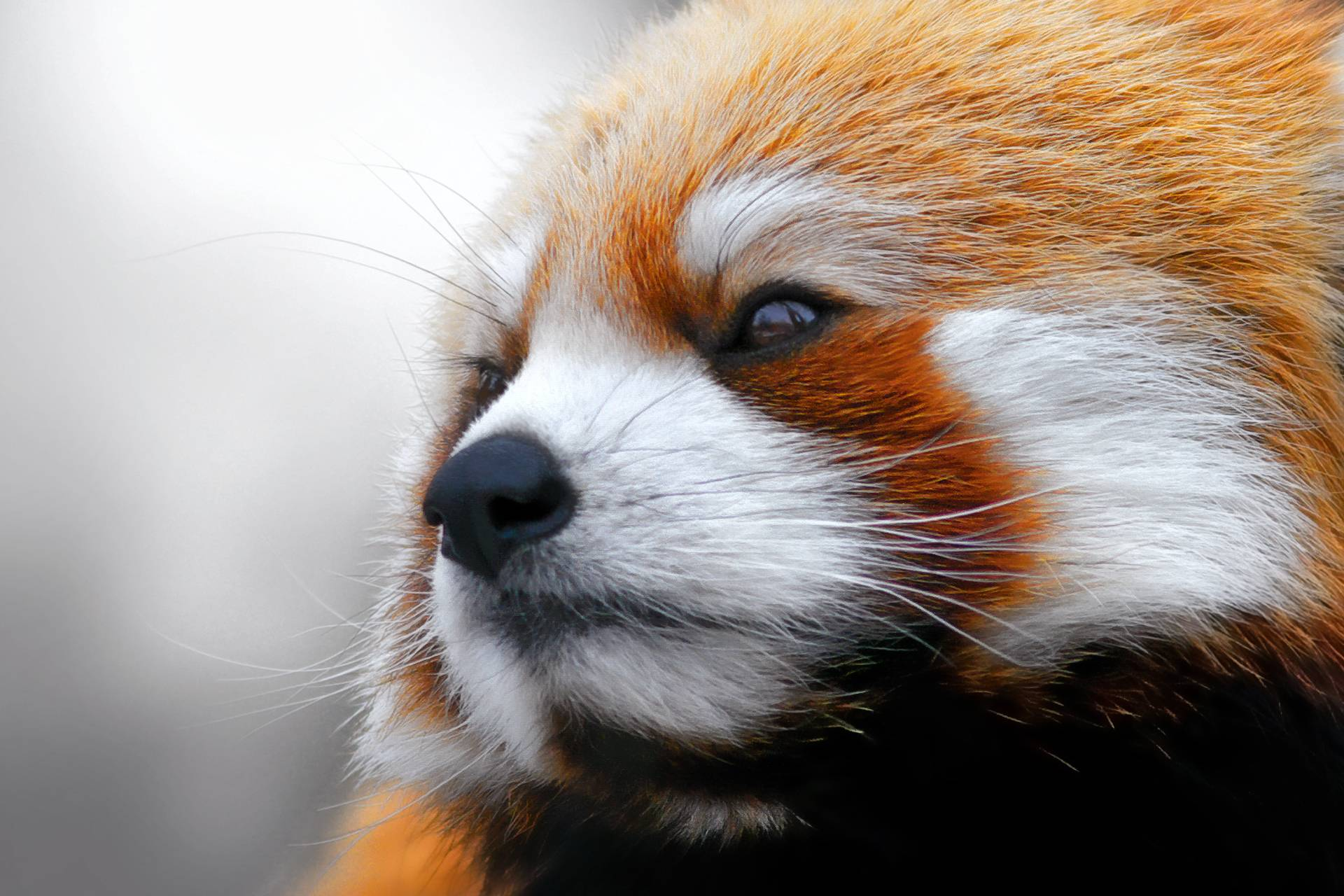 Red Panda Photoshoot | Free Download Wallpaper from wallpaperank.com