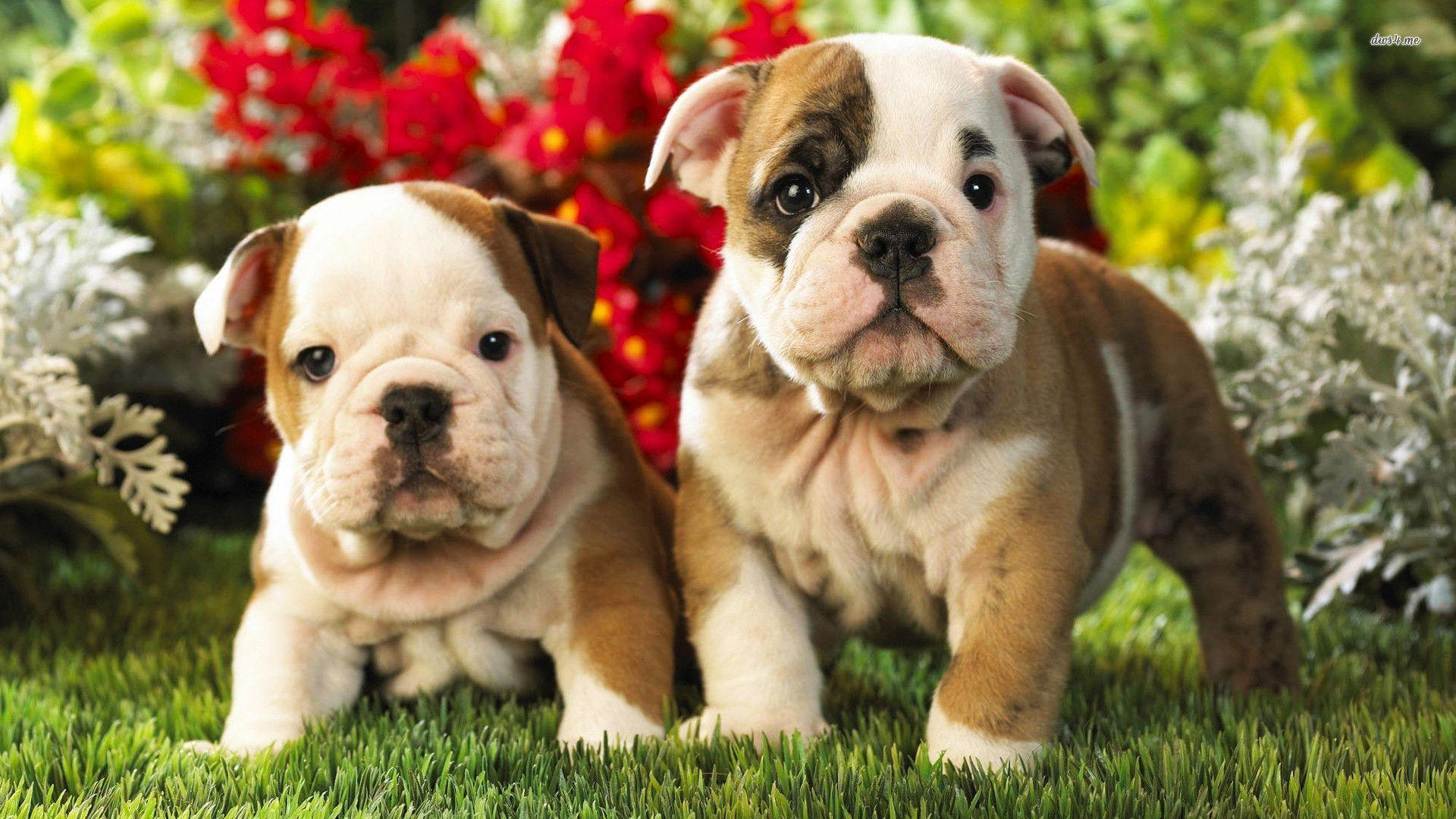 English Bulldog Puppies Wallpaper 1080p « Desktop Background ...