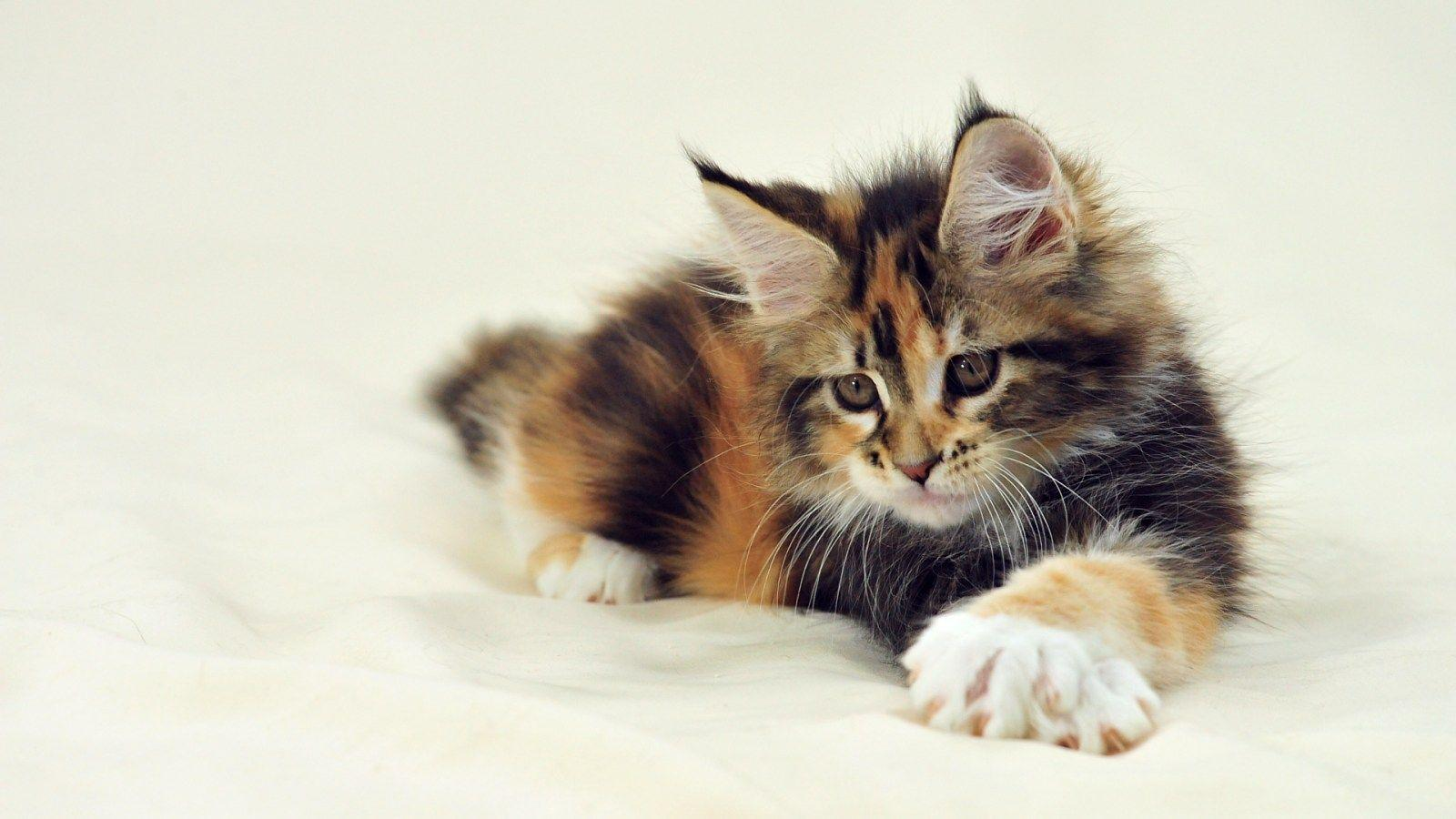 Grey Calico Cat For Sale