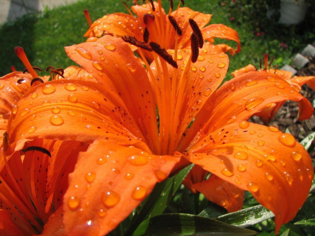 File:Wet Tiger Lily