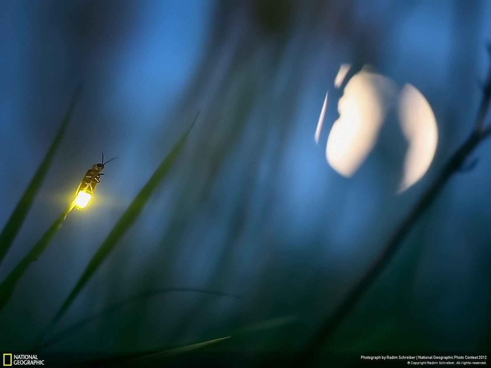 Firefly and Moon - National Geographic Photo Contest 2012 ...