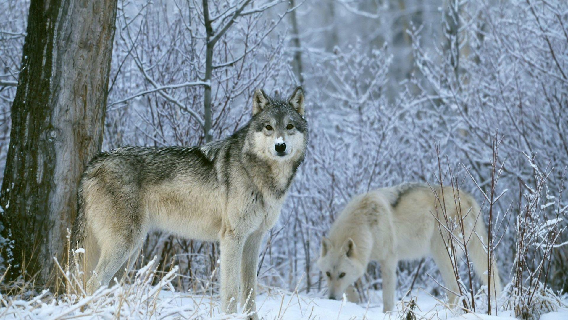 Winter Wolves Wallpaper 1920x1080 - 1649220