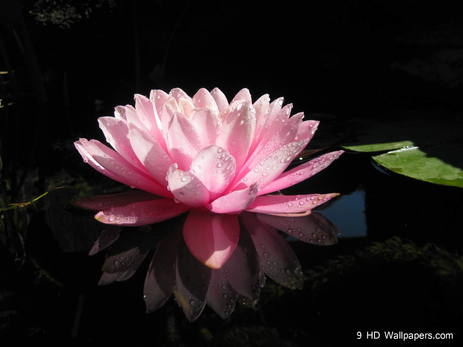 Lotus flower wallpapers wallpaper cave lotus flower hd wallpapers flowers images and photos full hd mightylinksfo