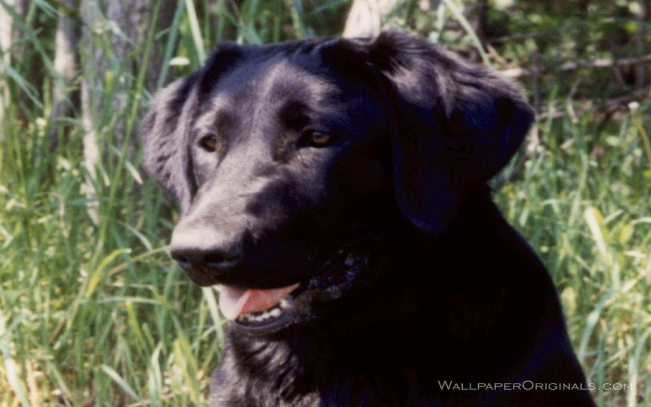 Black Labrador Wallpapers - Wallpaper Cave