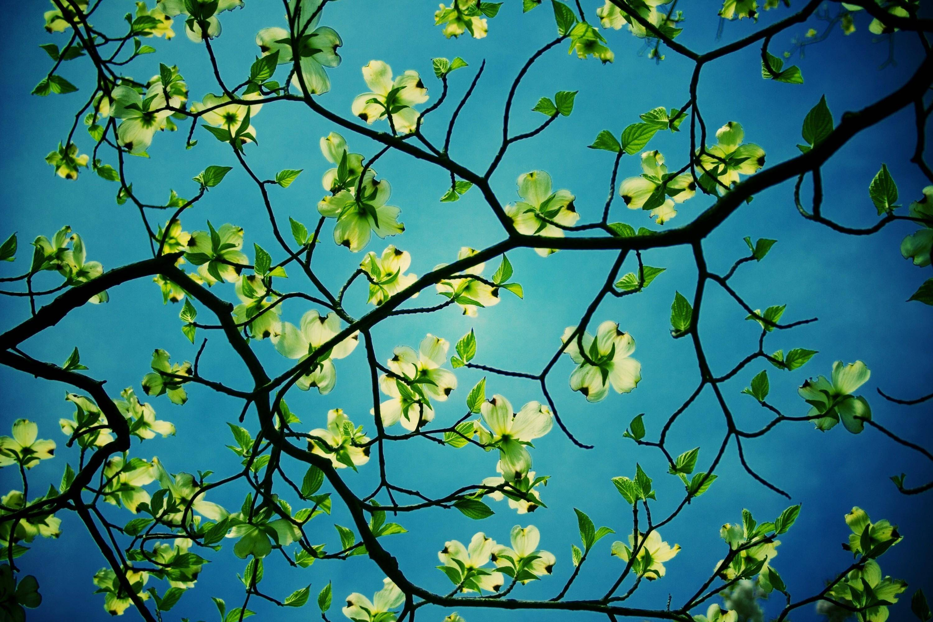 dogwood tree desktop hd wallpaper flowers wallpapers