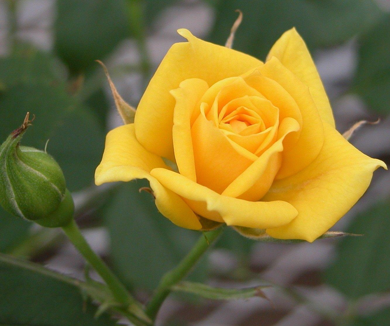 Free Yellow Rose Wallpapers - Wallpaper Cave
