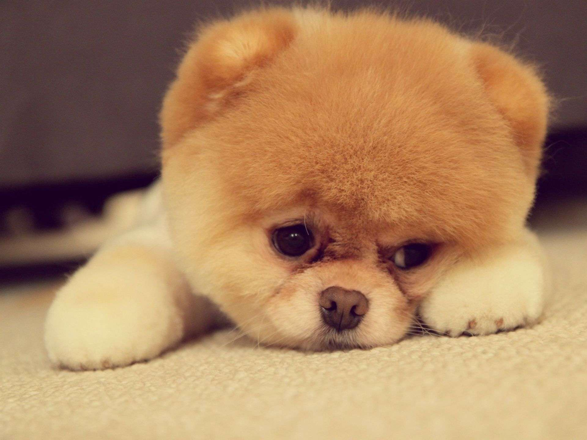 Sad Puppy Face Wallpapers HD Widescreen