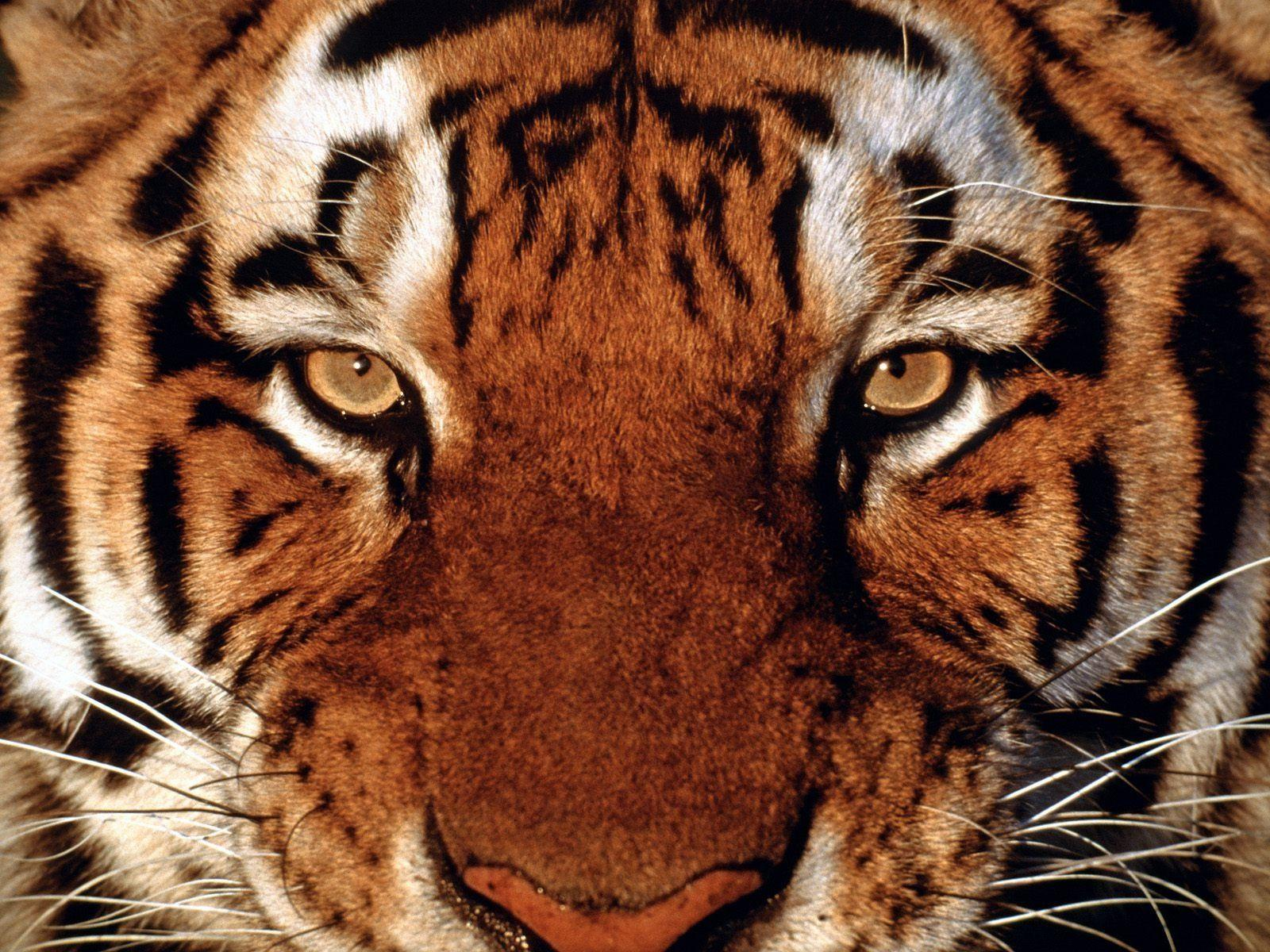 tiger face wallpapers (8 wallpapers) – 3d wallpapers