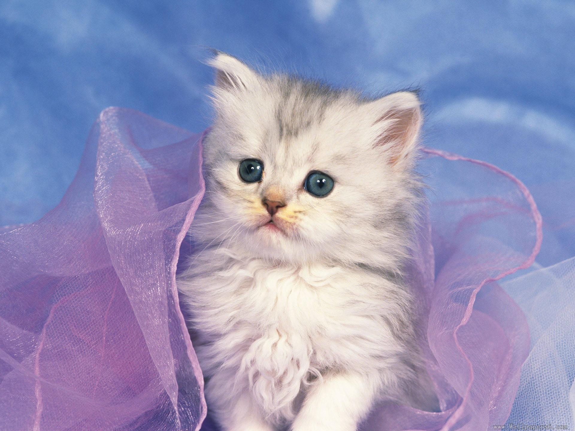 Cute White Kittens Wallpaper | Wallpaper Download