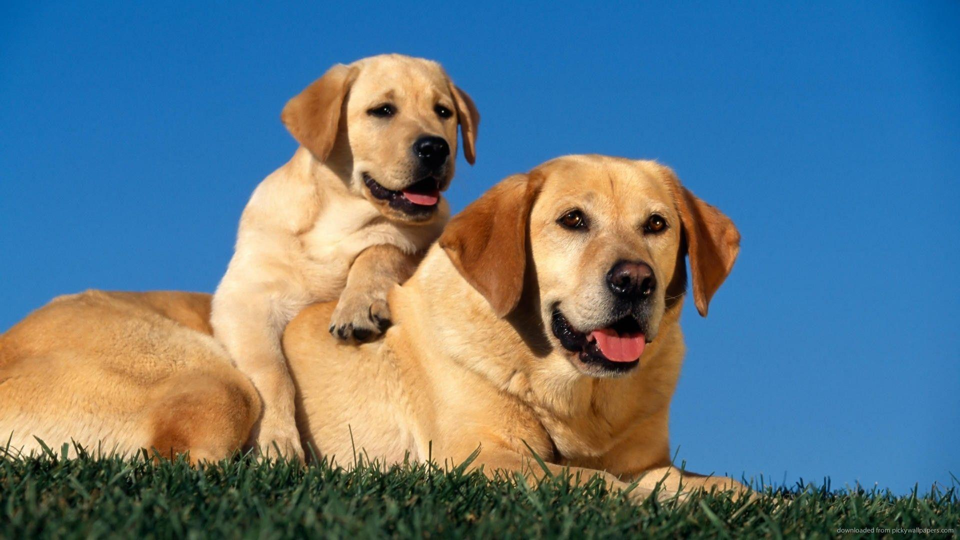 Lab Dogs Wallpapers Wallpaper Cave