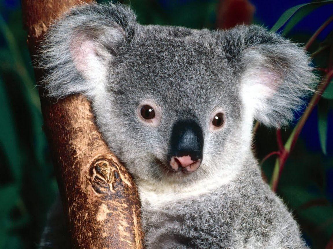 Most Inspiring Wallpaper Koala Cartoon - ARZQXMT  Pic_94322   .jpg