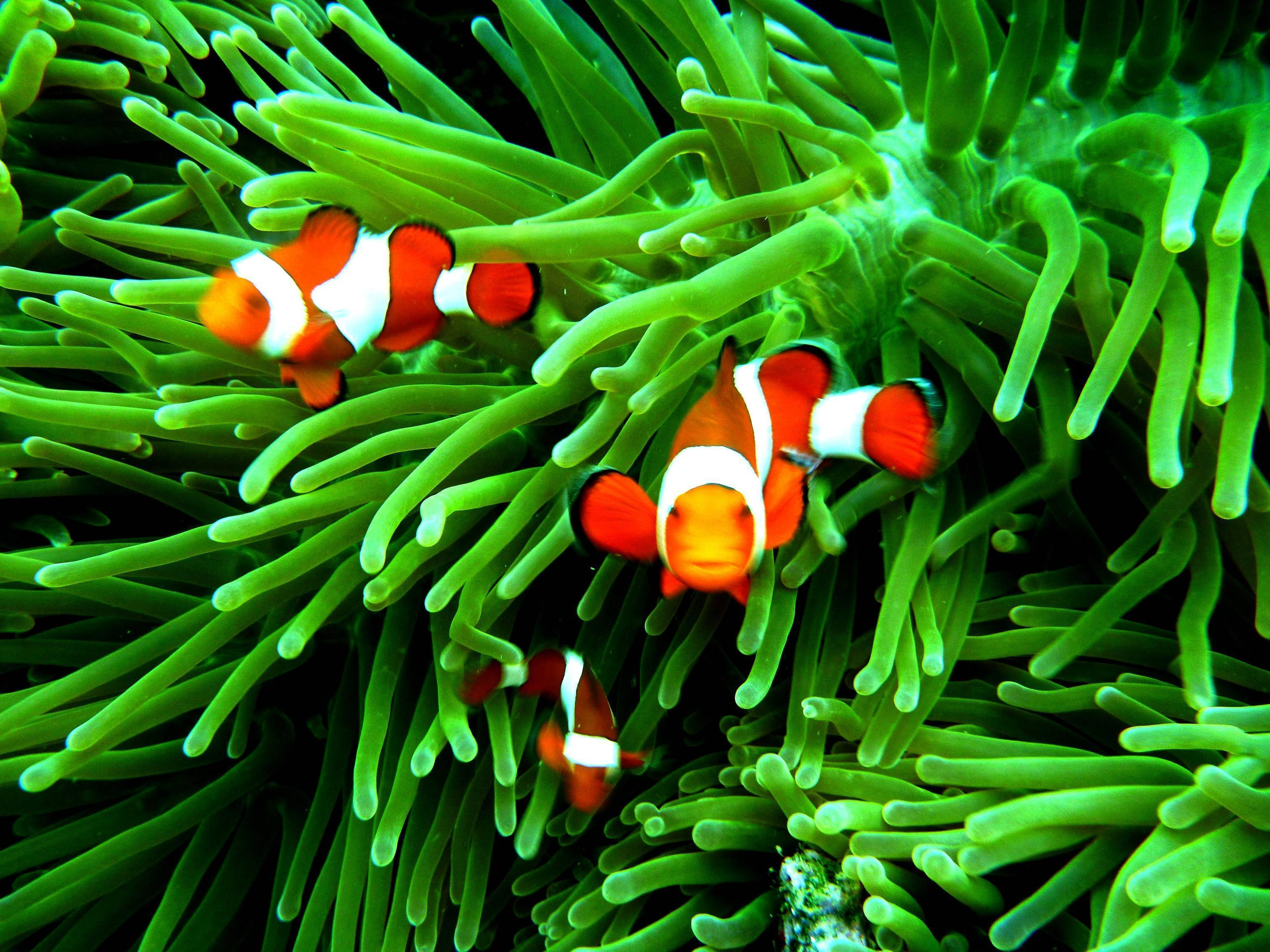 Clownfish wallpapers wallpaper cave for Clown fish life cycle