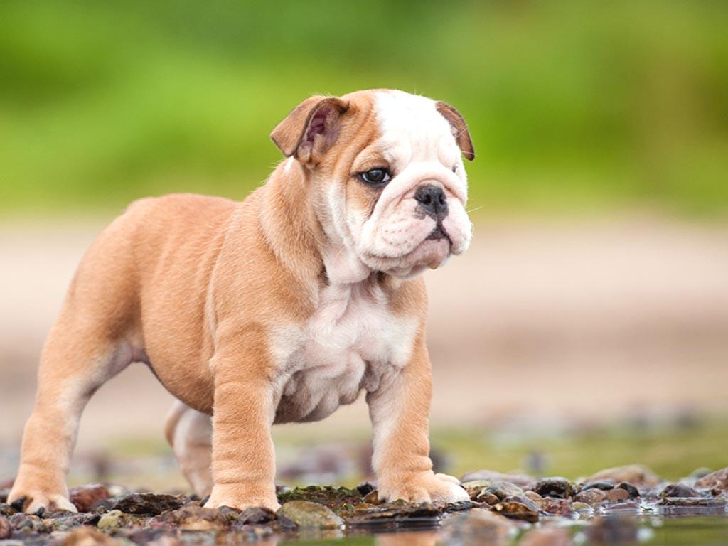 english bulldog wallpaper english bulldog wallpapers wallpaper cave 6269