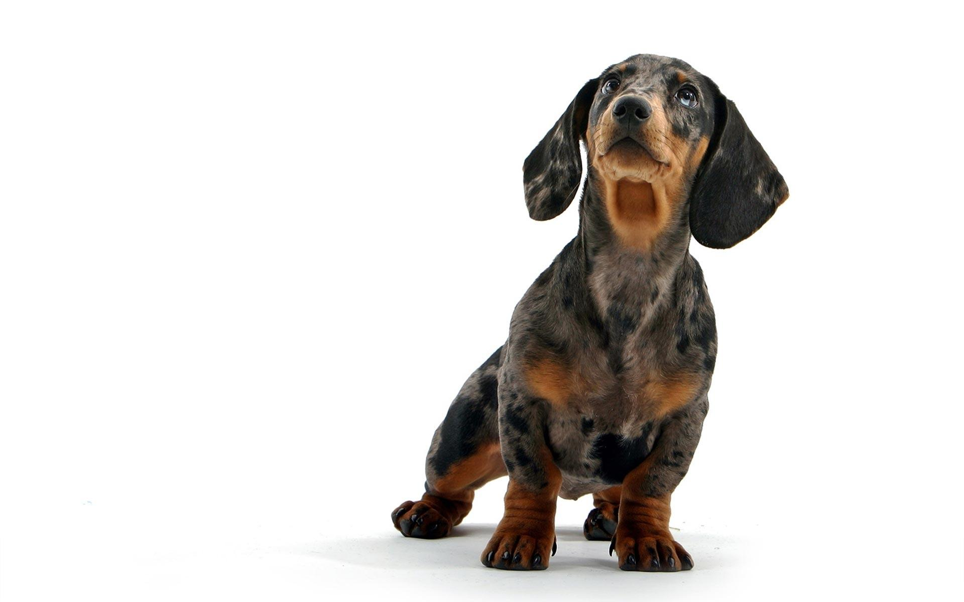 Dachshund Wallpapers Wallpaper Cave