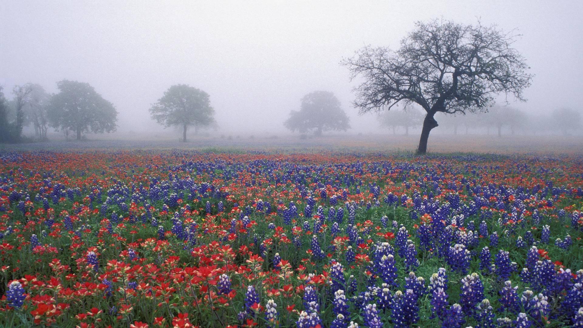 Flowers: Bluebonnets Oak Trees Fields Misty Flowers Texas ...
