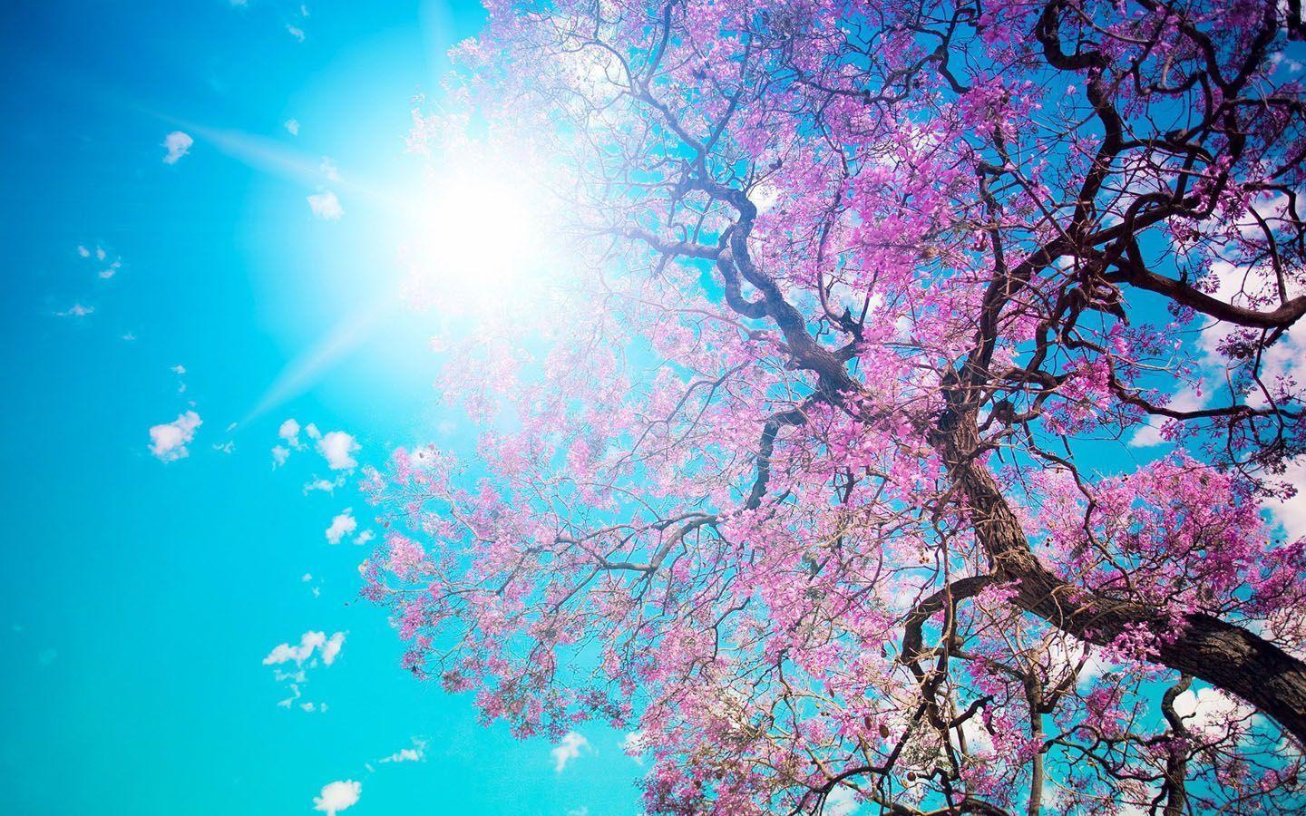 Cherry blossom desktop wallpapers wallpaper cave - Anime cherry blossom wallpaper ...