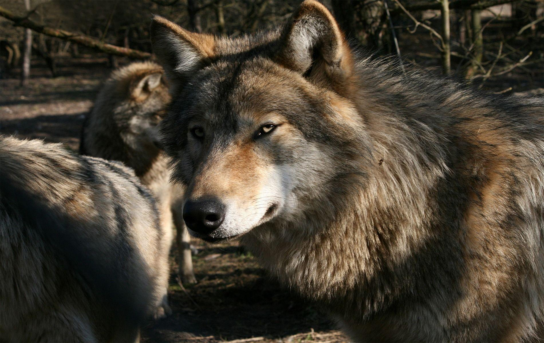 Wolf Pack Wallpapers - Wallpaper Cave - photo#10