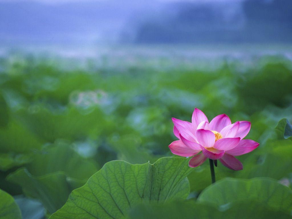 Lotus Flower Wallpapers Wallpaper Cave