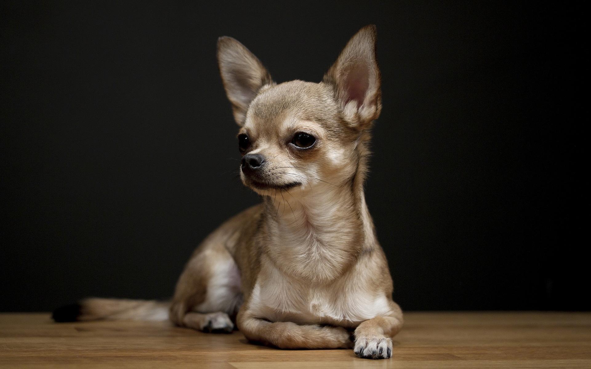 Chihuahua Wallpapers Wallpaper