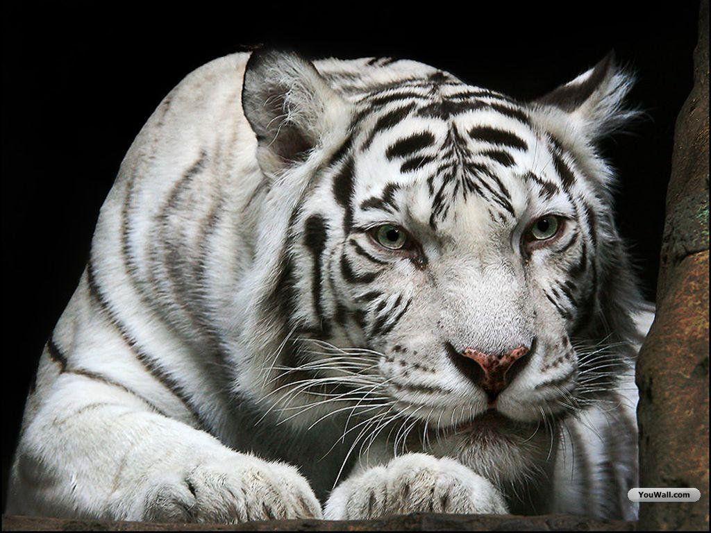 tiger wallpaper widescreen - photo #15