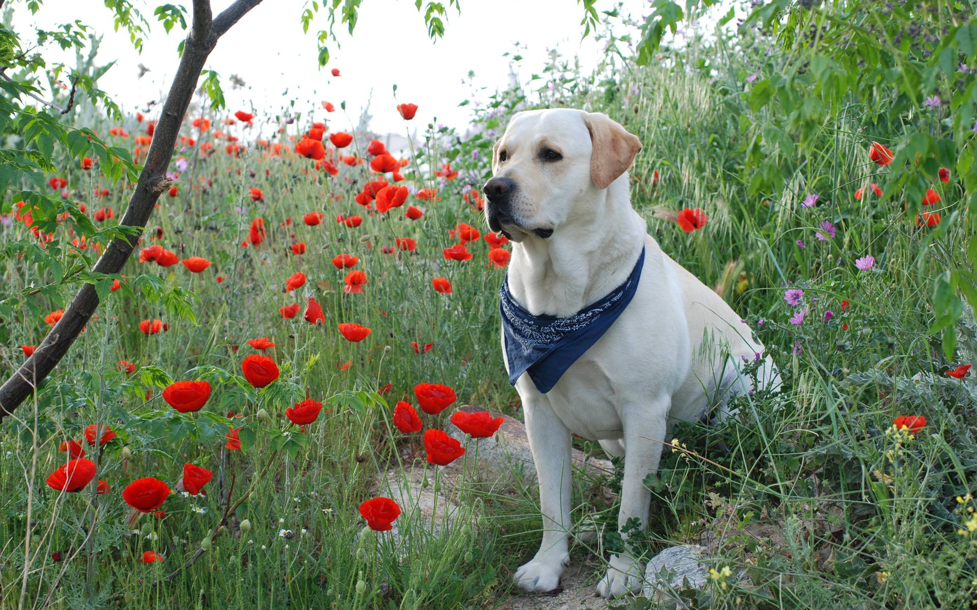Labrador Retriever | HD Wallpapers
